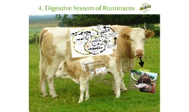 4. Digestive System of Ruminants