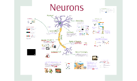 Neurons and Nerves