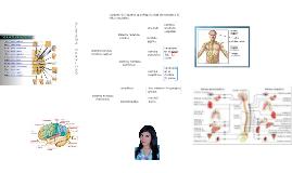 conjunto de órganos que dirige la vida de relación y la vida