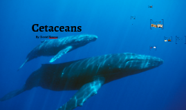Copy of Cetaceans are known as marine mammals from the order  Cetace