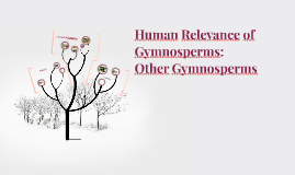 Human Relevance of Gymnosperms: