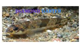 Diamond Darter
