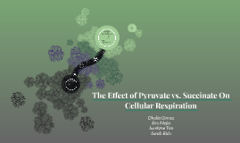 The Effect of Pyruvate vs. Succinate On Cellular Respiration