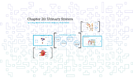 Chapter 20: Urinary System