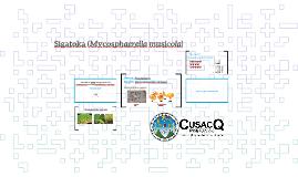 Sigatoka (Mycosphaerella musicola)