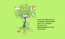 Copy of Study The Effectiveness Of Azolla As Biofertilizer And Act A