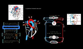 Le système circulatoire du coeur