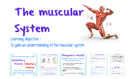 Unit 3 Lesson 2: The Muscular System
