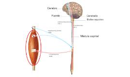 Funcionamiento neuromuscular básico del SNC