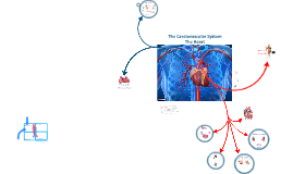 The Cardiovascular System - The Heart - part 1
