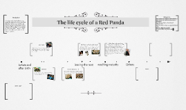The life cycle of a Red Panda
