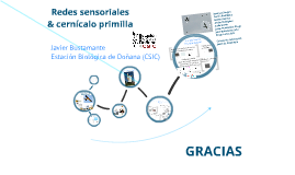 Copy of Redes sensoriales & Cernicalo primilla