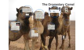 The Dromedary  Camel