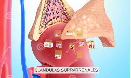 Copy of GLANDULAS SUPRARRENALES