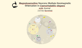 Magnetosensitive Neurons Mediate Geomagnetic Orientation in