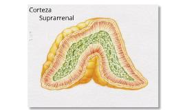Corteza Suprarrenal: Caso Clínico
