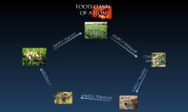 food chain of a lion