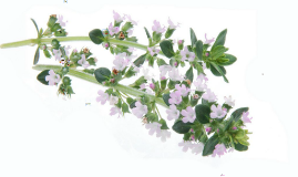 Thyme is the common name of my herb