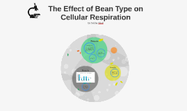 The Effect of Bean Type of Cellular Respiration