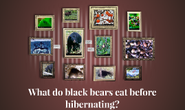 What do black bears eat before hibernating?
