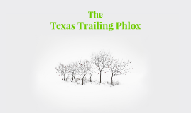Texas Trailing Phlox