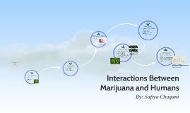 Interactions Between Marijuana and Humans