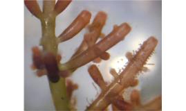 PPS - Red Algae