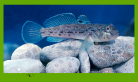 The Round Goby
