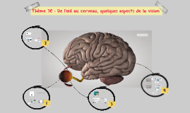 Thème 3C : De l'œil au cerveau : quelques aspects de la visi