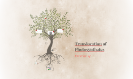 Translocation of Photosynthates