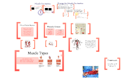 Copy of Human Physiology: Muscular Contraction
