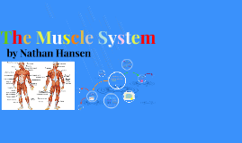 The Muscle System