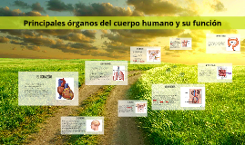 Principales órganos del cuerpo humano y su función