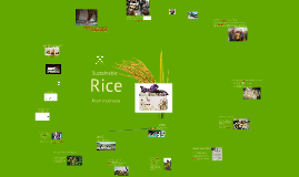 Sustainable rice from Indonesia - En