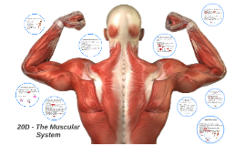 20D - The Muscular System