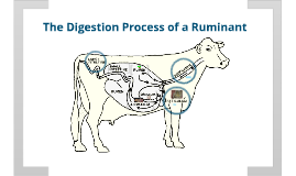 Copy of Ruminant Digestion Tract