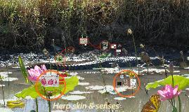 Herp skin, senses