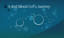 A Red Blood Cell's Journey