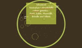 Copy of Advanced Australian Labradoodle colour genetics. Parti, Sabl