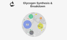 Synthesis and Breakdown of Glycogen