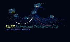 EGFP Expressing Transgenic Pigs