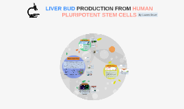 Copy of LIVER BUD PRODUCTION FROM HUMAN PLURIPOTENT STEM CELLS