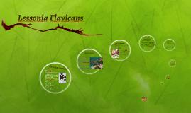 Lessonia Flavicans