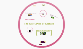 Lettuce Life Cycle