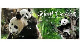 Copy of Giant Pandas