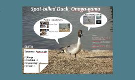 OU Semester 1 - Basic Seminar - Bird Watching - Anas acuta (onaga-gamo) - Taku Aiga