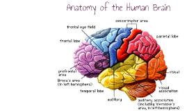 Copy of Anatomy of the Human Brain