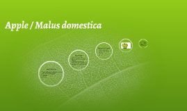 Apple / Malus domestica