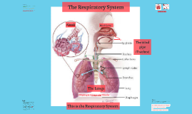 Copy of GCSE PE Theory Respiratory System
