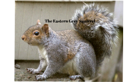 The Eastern Grey Squirrel